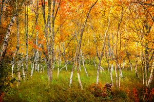 The Golden Forest