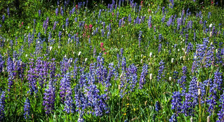 Alpine Lupine Meadow - Dennis Sabo Photography