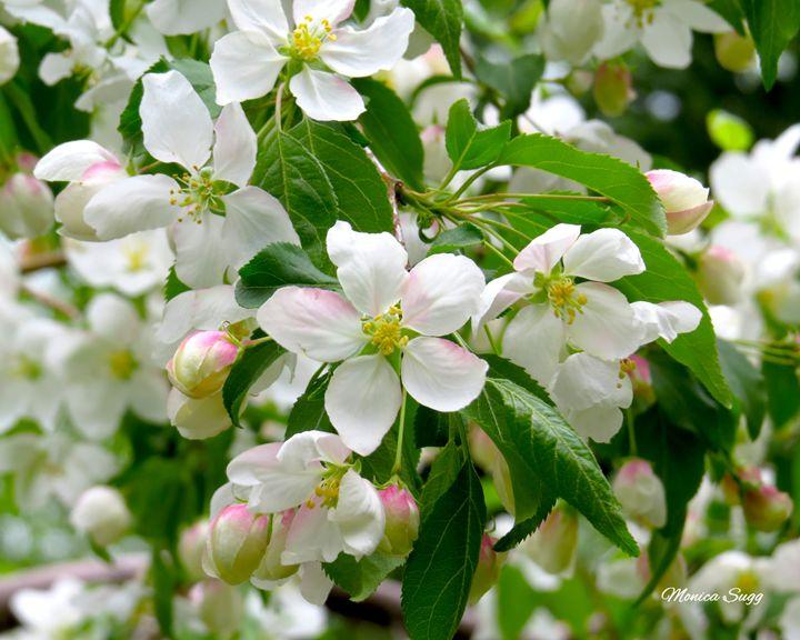 Apple Blossoms - Monica Sugg