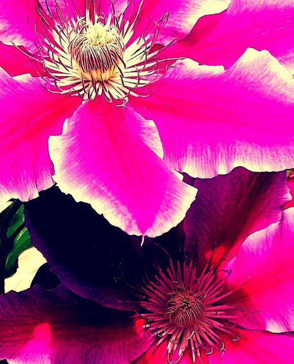Pink clamatis centre - Fiona Sutherland Muir
