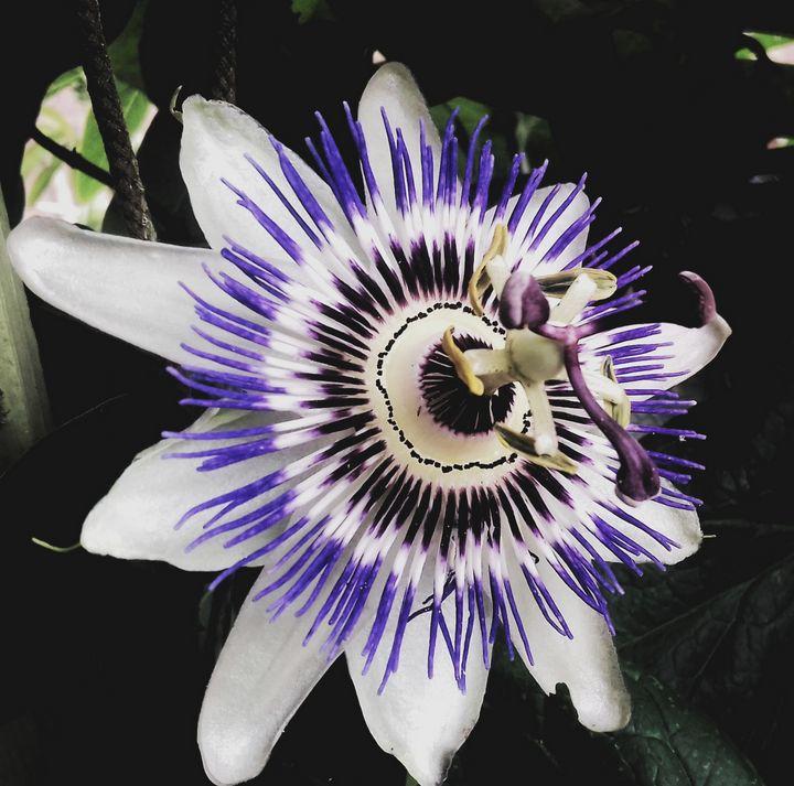 Passion flower - Fiona Sutherland Muir