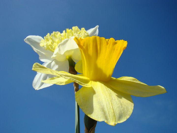 Spring Daffodils Flowers Art Prints - ArtPrintsGifts