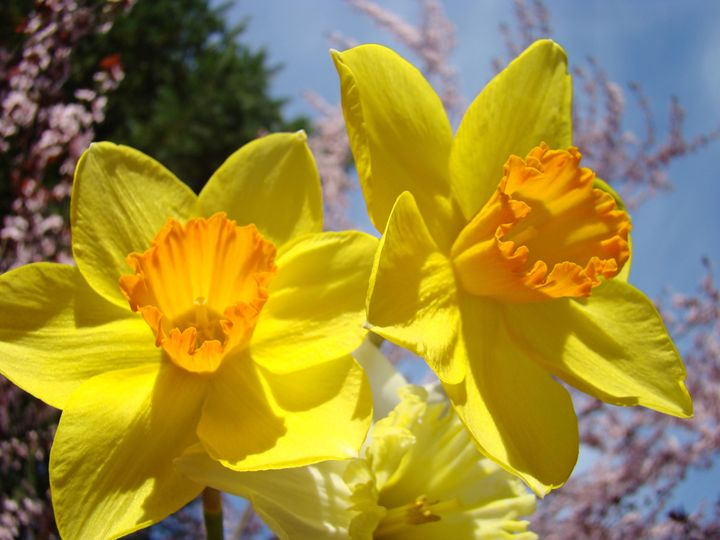 Orange Yellow Daffodils Flowers art - ArtPrintsGifts