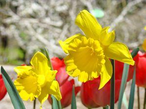 Spring Gardens Daffodil Flowers art