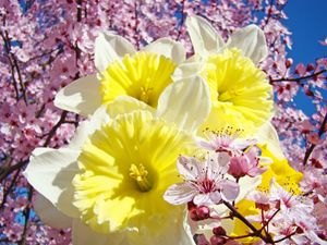 Daffodils Flowers Pink Blossoms Art