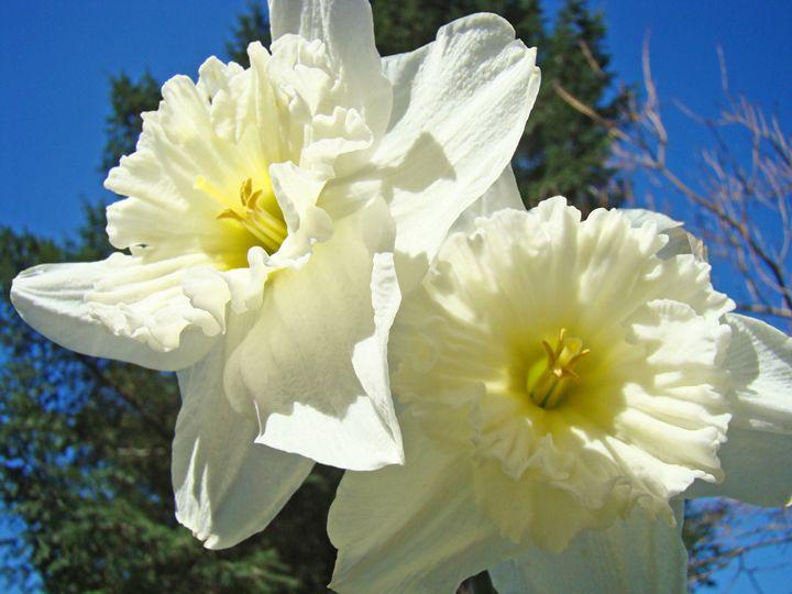 White Daffodil Flowers Spring prints - ArtPrintsGifts