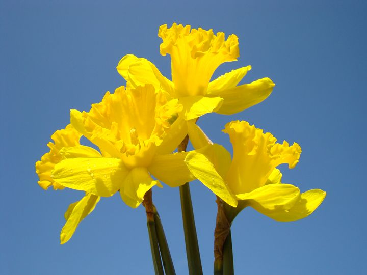 Daffodils Bouquet Art Prints Spring - ArtPrintsGifts
