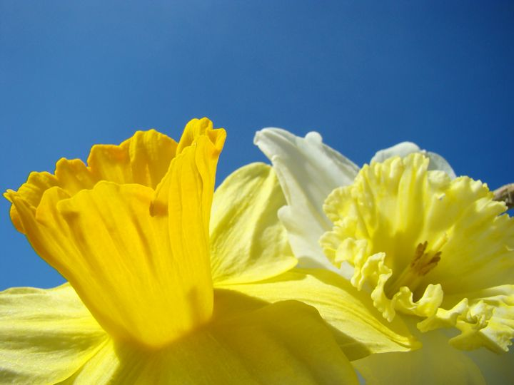 Colorful Bright Daffodil Flowers Art - ArtPrintsGifts