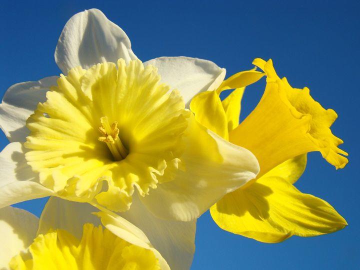 Daffodil Flowers Art Prints Spring - ArtPrintsGifts
