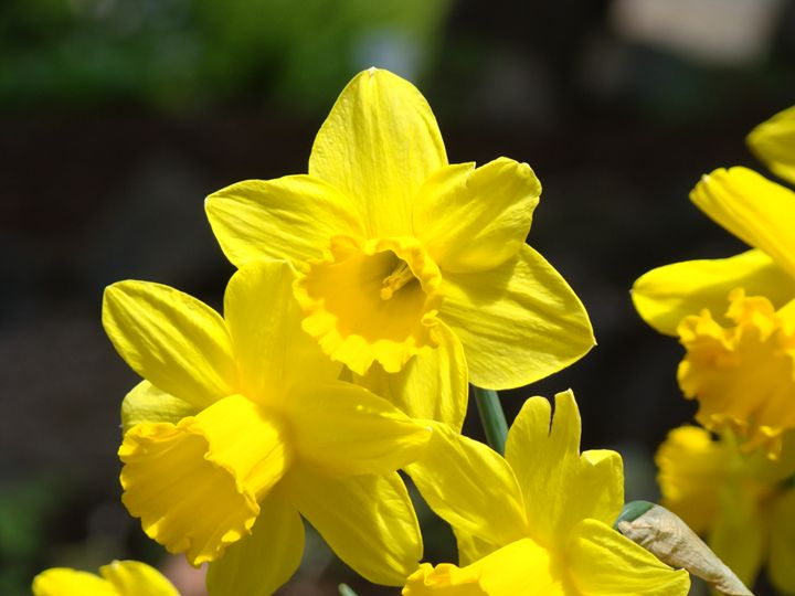 Sunny Yellow Daffodils Floral Art - ArtPrintsGifts