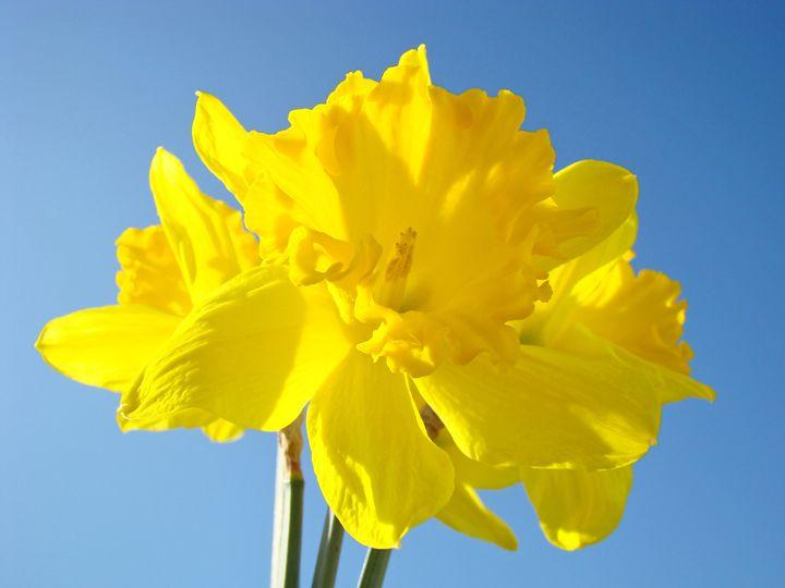 Daffodil Bouquet Floral Spring Art - ArtPrintsGifts