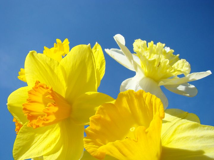 Yellow Daffodils Flowers Art Spring - ArtPrintsGifts