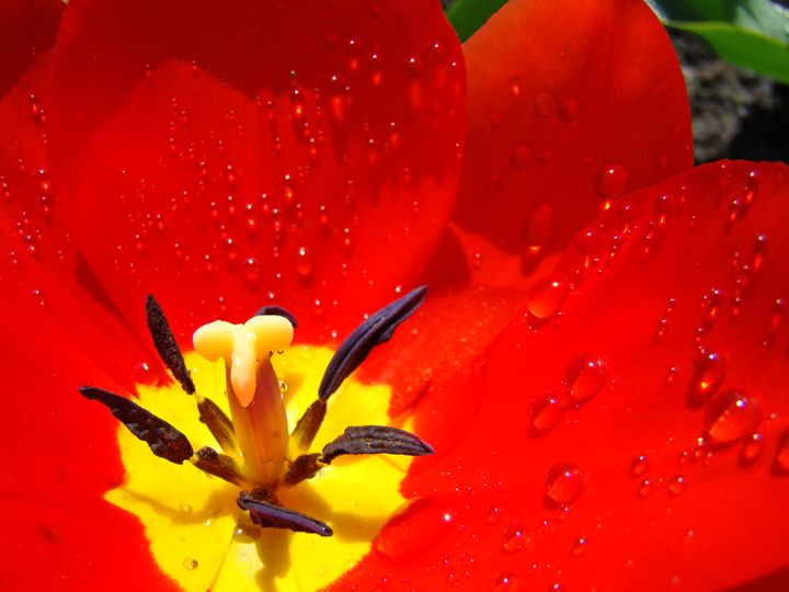 RED macro Tulip Flower Raindrops - ArtPrintsGifts