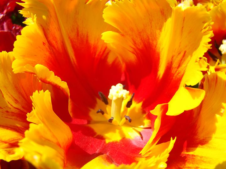 Red Yellow Tulip Flower Art Prints - ArtPrintsGifts
