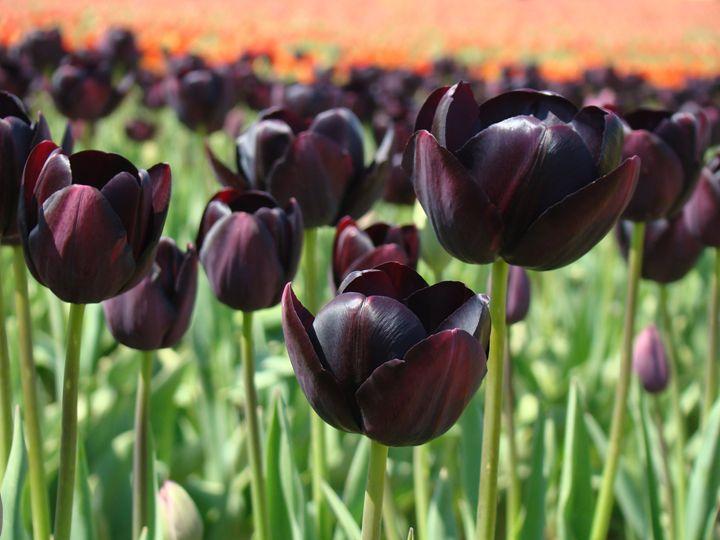 Tulip Flowers Dark Purple Meadow - ArtPrintsGifts