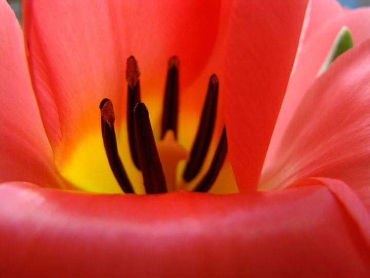 Red Tulip Flower macro Art Prints - ArtPrintsGifts