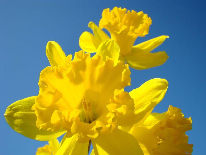 Bright Yellow Daffodil Flowers print - ArtPrintsGifts