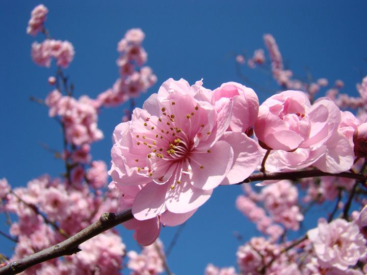 Spring Pink Tree Blossoms Art Prints - ArtPrintsGifts