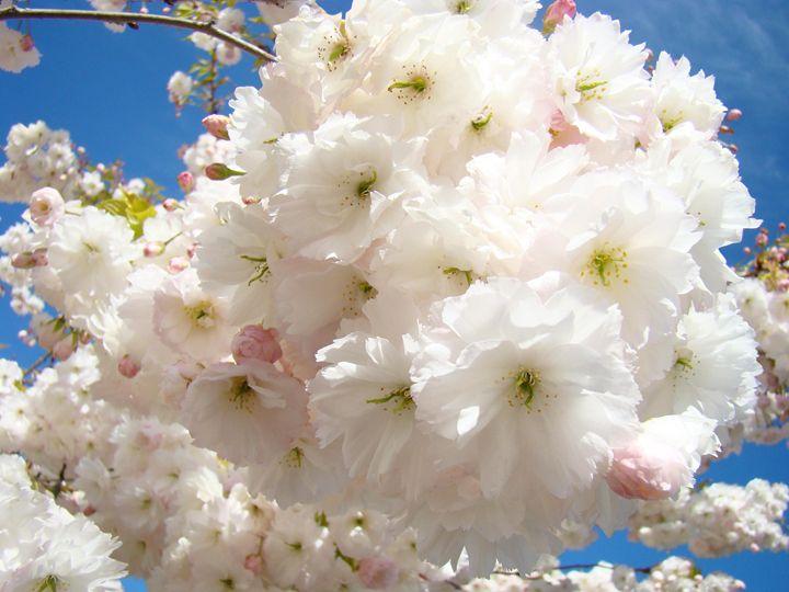 Flully White Pink Spring Blossoms - ArtPrintsGifts