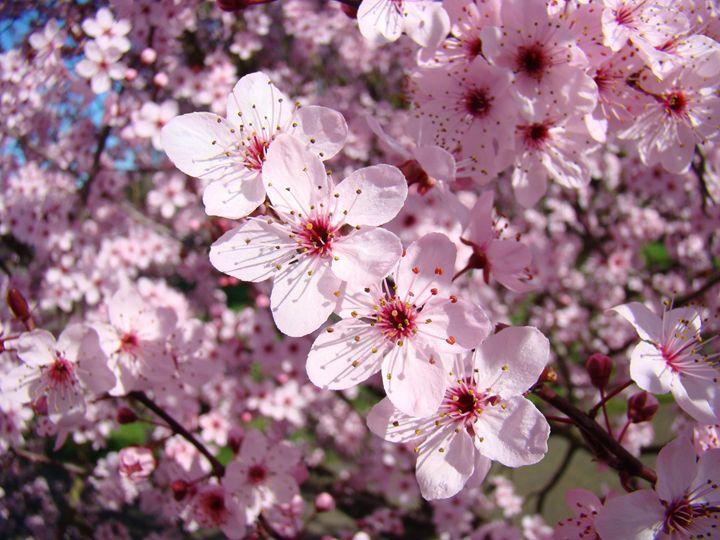 Tree Blossoms Pink Spring Art Prints - ArtPrintsGifts