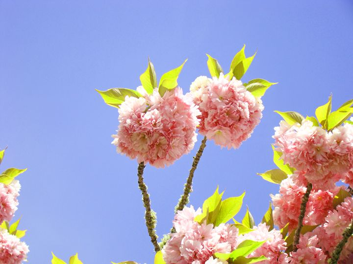 Spring Blue Sky Pink Tree Flowers - ArtPrintsGifts