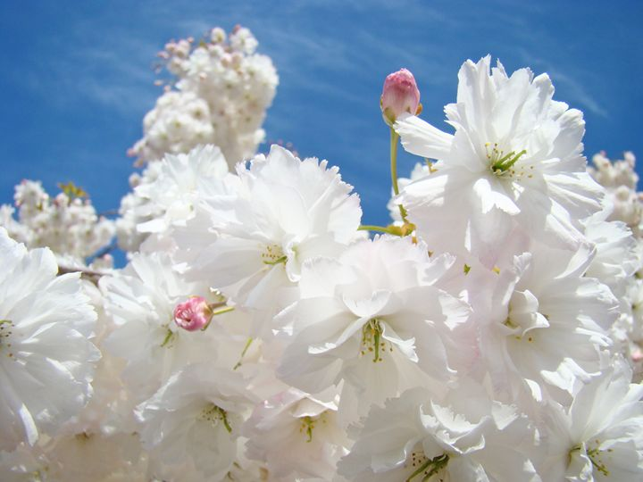 White Fluffy Spring Tree Blossoms - ArtPrintsGifts