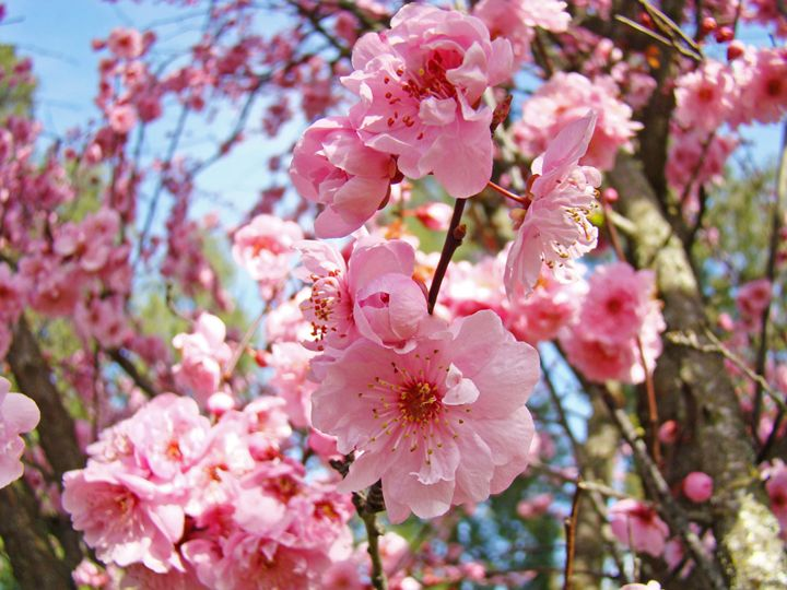 Colorful Pink Blossom Spring Prints - ArtPrintsGifts