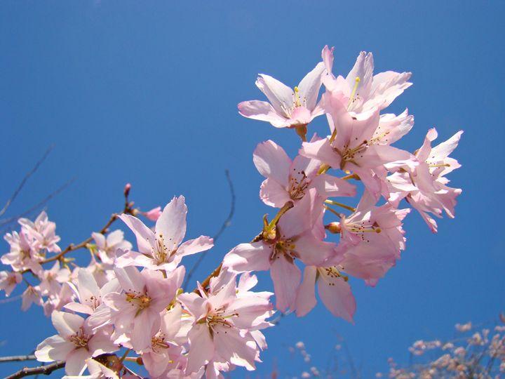 Spring Tree Blossoms Pink Blue Sky - ArtPrintsGifts