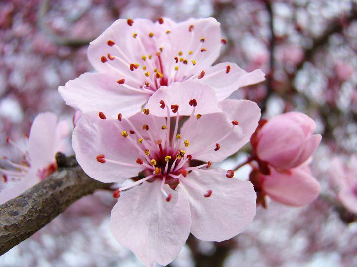 Pastel Pink Tree Blossoms Spring Art - ArtPrintsGifts