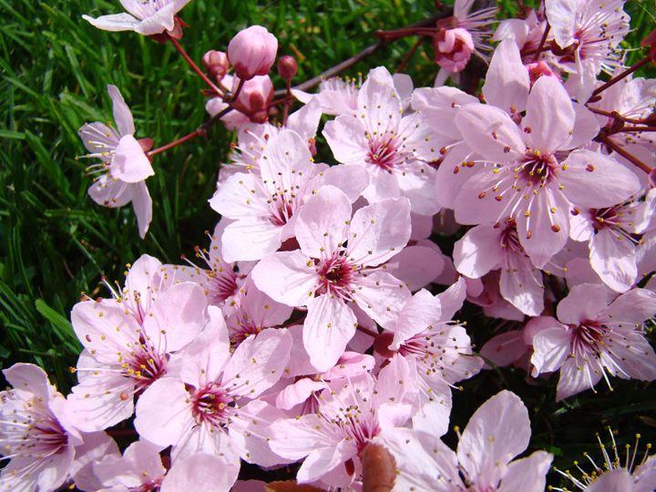 Spring Blossoms Green Lawn Art - ArtPrintsGifts