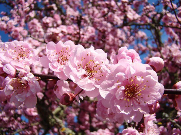 Tree Flower Blossoms Art Prints - ArtPrintsGifts