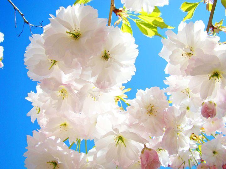Fluffy Spring Tree Blossoms Trees - ArtPrintsGifts