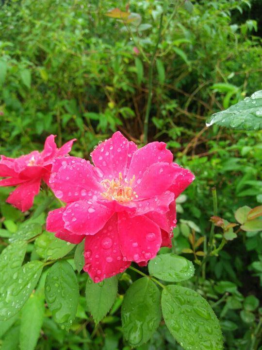 Velvety roses - A little chaos
