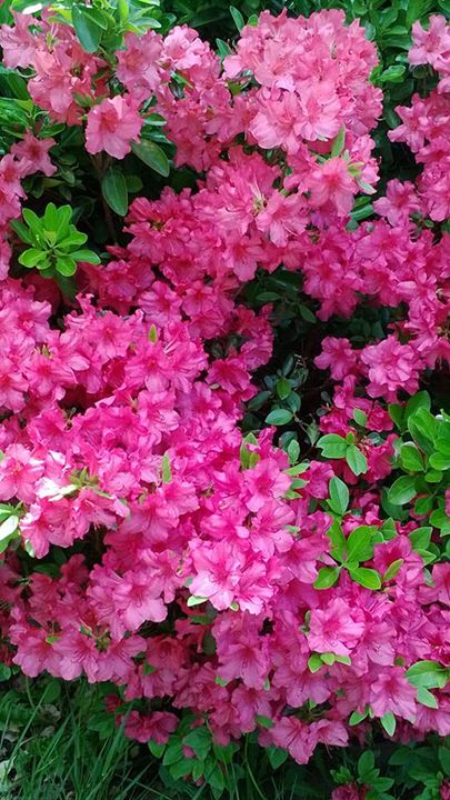 rhododendrons - Alec Carr