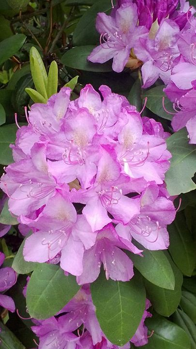 rhododendrons 2 - Alec Carr