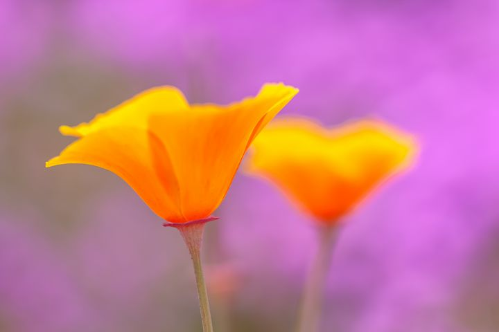 ca poppies - Jonathan Nguyen