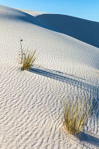sand yucca