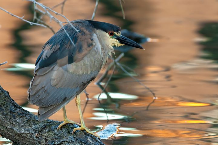 black-crowned night heron - Jonathan Nguyen