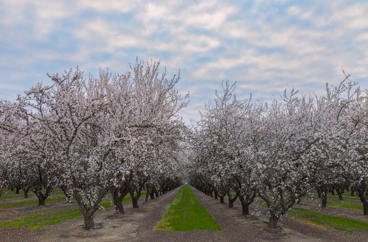 almond blossoms - Jonathan Nguyen