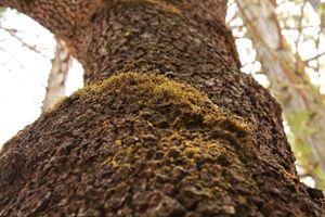 Mossy Tree (Tree Texture 4)