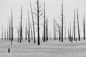 Dead Cedar Trees