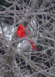 Mister Cardinal