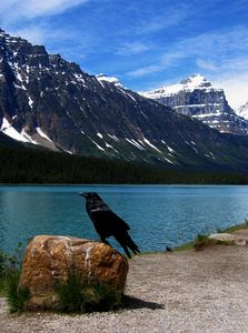 Raven in Banff NP