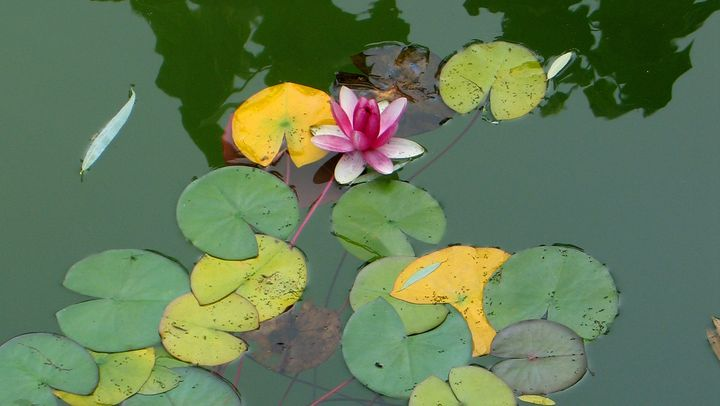 Water Lilly - Larry A Stevens Photographics