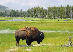 Molting Bison @ Yellowstone NP