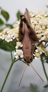 Grasshopper On White Yarrow