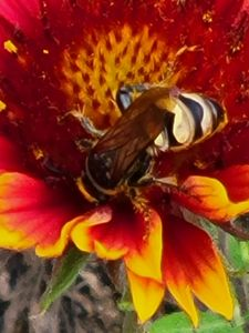 WASP ON A BLANKET FLOWER