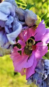 Bee On A Hibiscus