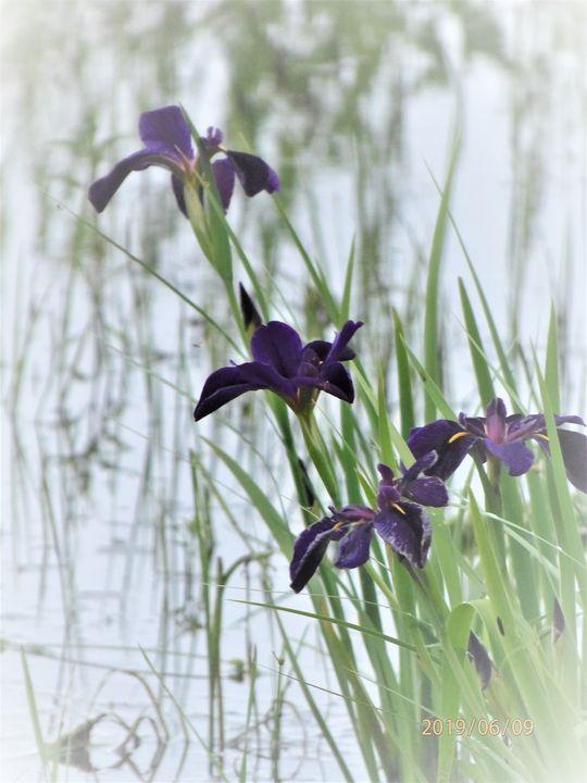 Louisianna Gamecock Iris - Graphics By Nesbitt