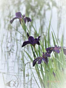Louisianna Gamecock Iris